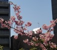 Anticipating cherry blossoms in Tokyo and New York