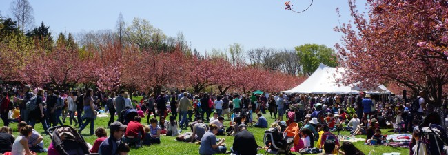 Perfect weather to enjoy the cherry blossoms in Brooklyn