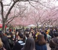 The Third Annual Roosevelt Island Cherry Blossom Festival Recreated Japan's O-hanami