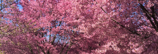 Where to find cherry blossoms in New York City
